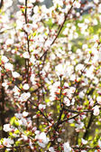 Blooming spring twigs close up — Stock Photo
