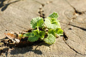 Young plant growing on tree stump — Stock Photo
