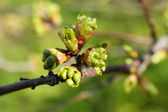 Spring buds on tree twigs close up — Stock Photo