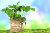 Strawberry bush in pot on grass on bright background — Stockfoto