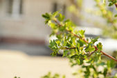 First leaves on twigs in spring — Stock Photo