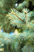 Christmas tree branch close-up outdoor — Stock Photo
