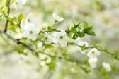 Beautiful fruit blossom outdoors — Stock Photo
