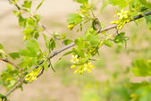 Beautiful spring twig with yellow flowers and leaves, outdoors — Stock Photo