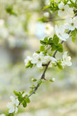 Beautiful fruit blossom outdoors — Stock Photo