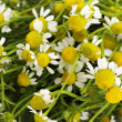Medical chamomile close-up — Stock Photo
