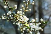 веточки цветущей сакуры весной заделывают — Стоковое фото