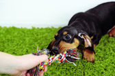 Cute dachshund puppy on green carpet — Stock Photo