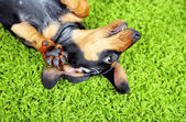 Cute dachshund puppy on green carpet — Stock Photo