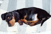 милая такса щенок — Стоковое фото