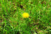 Beautiful dandelion outdoors — Foto de Stock