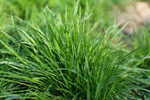 Spring green grass background — Stock Photo