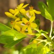 Beautiful spring twig with yellow flowers and leaves, outdoors — Stock Photo #45089413