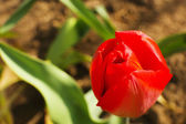 Beautiful red tulip, outdoors — Foto de Stock