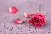 Beautiful pink dried rose on old wooden background — Stock Photo