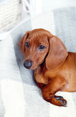 Little cute dachshund puppy — Стоковое фото