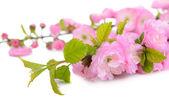 Beautiful fruit blossom isolated on white — Stock Photo