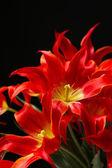 Beautiful red tulips on black background — Stock Photo