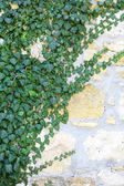 Ivy on wall background — Stock Photo
