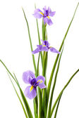 Beautiful iris flower isolated on white — Stock Photo