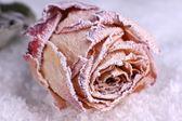 Gedroogde rose — Stockfoto