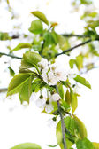 Blooming cherry tree twigs in spring close up — Stock Photo