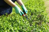 Pruning bushes in garden — Stock Photo