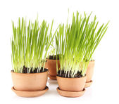 Green grass in flowerpots, isolated on white — 图库照片