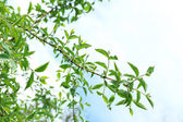 Spring leaves on tree — Stock Photo