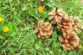 Pine cones in grass — Stock Photo