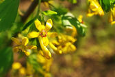 Beautiful spring twig with yellow flowers and leaves, outdoors — Стоковое фото