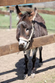 Grey donkey in paddock — Stock Photo