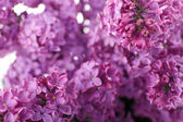 Beautiful lilac flowers close up — Stock Photo