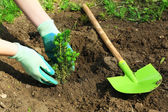 Gardener planting tree in spring — Stock Photo