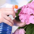 Постер, плакат: Caring for hydrangea flower