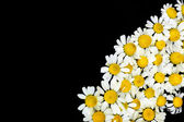 Beautiful daisies flowers isolated on black — Stock Photo