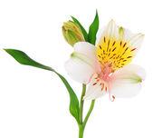Alstroemeria flowers isolated on white — Stock Photo