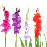 Beautiful gladiolus flower isolated on white — Stock Photo #47210313