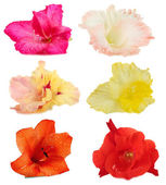 Collage of beautiful gladiolus, isolated on white — Stock Photo