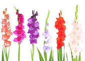 Beautiful gladiolus flower isolated on white — Stock Photo