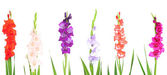 Collage of gladiolus flowers isolated on white — Stock Photo