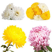 Collage of chrysanthemums flowers isolated on white — Stock Photo