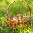 Little cute chickens in wicker basket on green grass, outdoors — Stock Photo #47399867