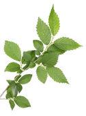Bel ramoscello verde isolato su bianco — Foto Stock
