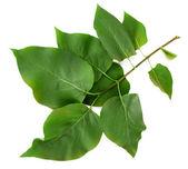 красивые зеленые ветки, изолированные на белом — Стоковое фото