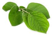 美丽的绿树枝上白色隔离 — 图库照片