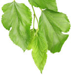Schönen grünen zweig isoliert auf weiss — Stockfoto