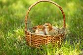 Mało słodkie Kurczaki w wiklinowym koszu na zielonej trawy, na zewnątrz — Zdjęcie stockowe