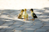 Little cute ducklings, outdoors — Stock Photo
