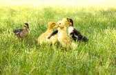 Little cute ducklings on green grass, outdoors — Stock Photo